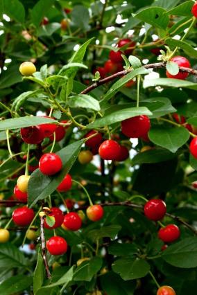 The cherry harvest.