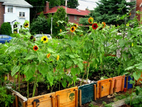 Sunflowers growing in raised beds