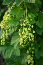 Currant flowers.