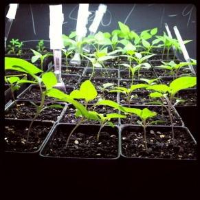 Starting seedlings with the students in the classroom.