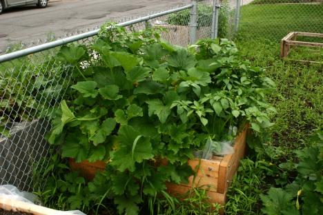 Zucchini and tomatillo plants.
