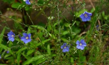 Perennial flax.