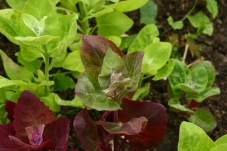 Orach was one of the new crops we grew.