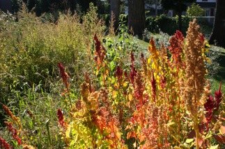 Quinoa and amaranth is used as a green manure crop.