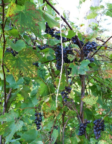 2014 produced an abundance of grapes.