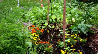 The drip irrigation hose makes watering simpler while working in the garden