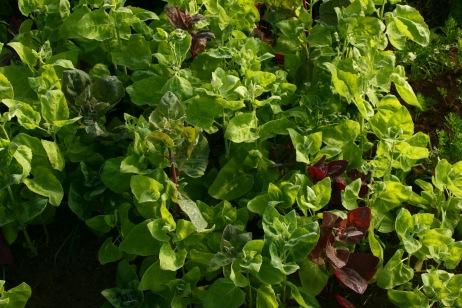 One of my favorite salad greens, Aurora orach.