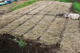 Garlic patch after mulching.