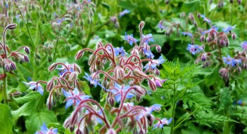 Borage flowers, although an annual, come back on their own every year.