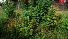 These currants, hazelnuts, asian pears, jerusalem artichokes, mint, lemon balm are in their second year of growth.