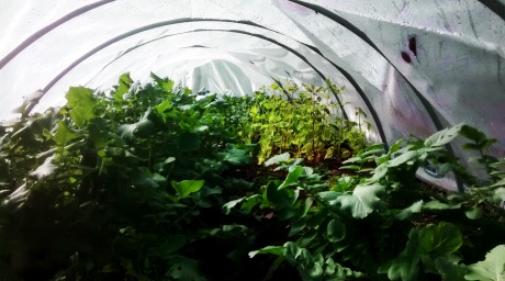 Late-season crops growing strong in November in temporary greenhouse.