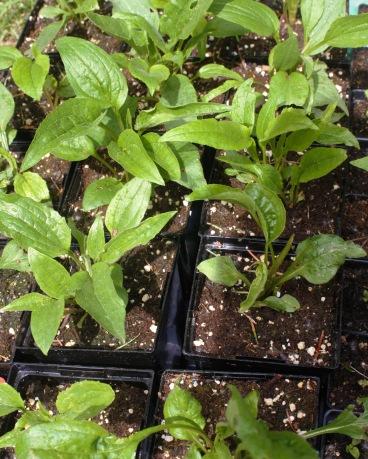 Echinaceas in the nursery