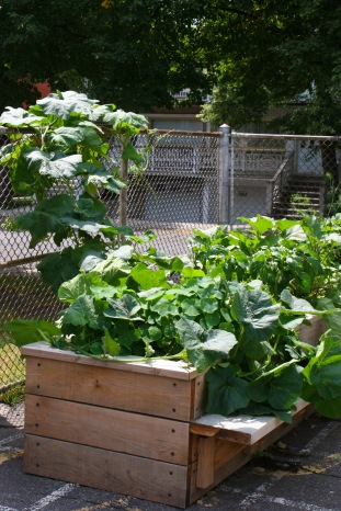 Squash growing up and along the fence